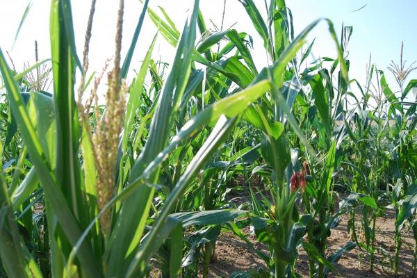 Připravte se na silážování kukuřice